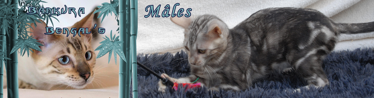 male chat bengal