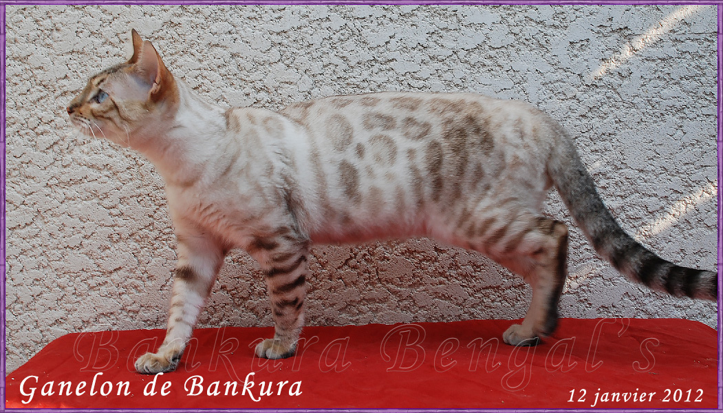 bengal seal tabby point . Snow lynx Bankura bengals