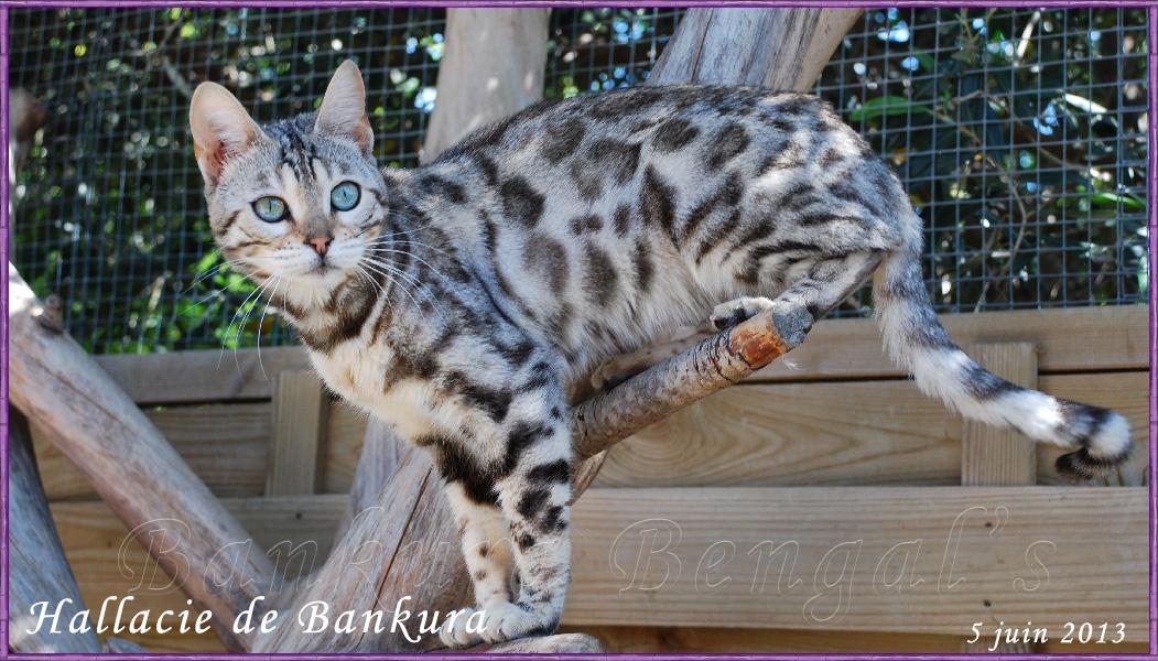 Chat bengal silver yeux bleu
