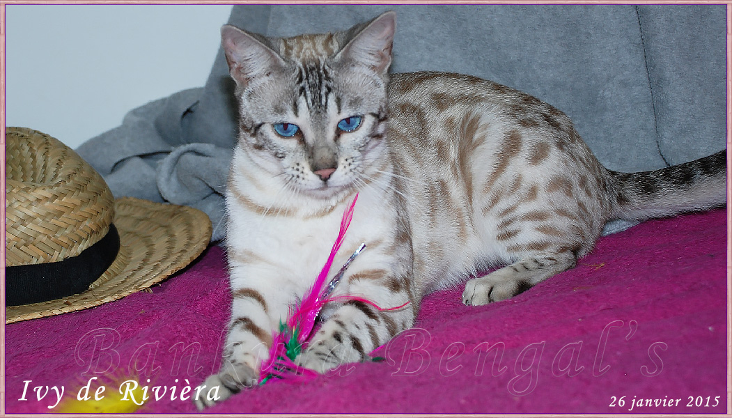 Chat Bengal Snow Silver Mink, seal silver tabby mink de Bankura Bengal's