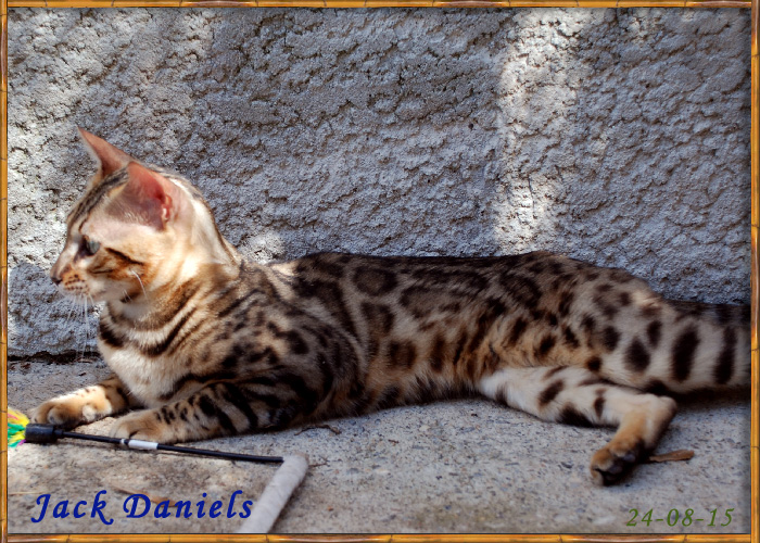 Bengal- Brown