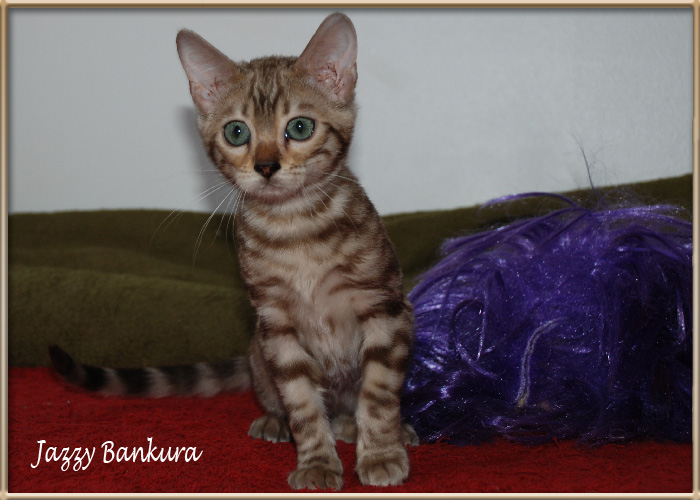 bengal snow silver (seal sepia tabby silver