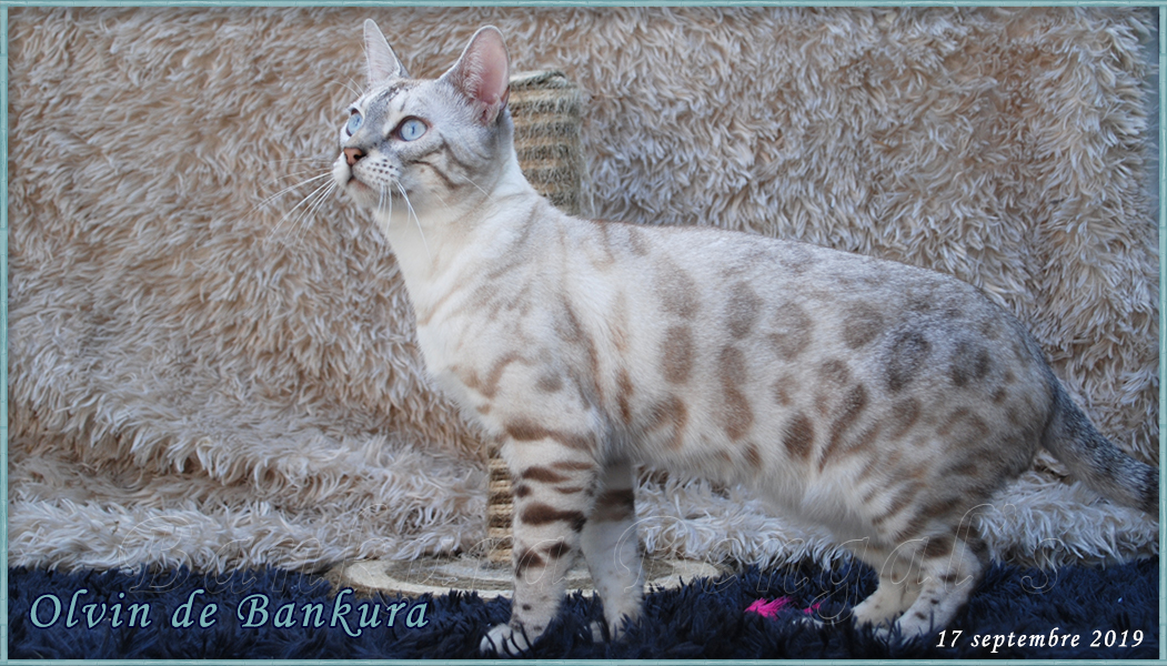 bengal seal tabby point - snow lynx